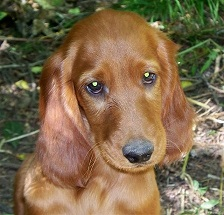 Irish Setter puppy rescue